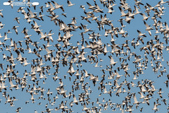 Flying Over The Fields (freshairphoto) Tags: snow geese goose flight migration afternoon middle creek wildlife management area kleinfeltersville pa artspearing nikon d500 200500 zoom handheld