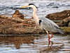 Garza real (Ardea cinerea) (27) (eb3alfmiguel) Tags: aves zancudas ciconiiformes ardeidae garza real ardea cinerea