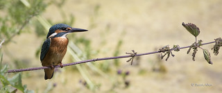 Kingfisher_MG_2940