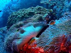Fish (markb120) Tags: fish animal fauna water sea underwater diving scuba ocean coral reef actinia anemonefish clownfish