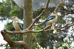 Blue-winged Kookaburra (Dacelo leachii) (Seventh Heaven Photography) Tags: bluewinged kookaburra dacelo leachii bird wildlife melbourne zoo victoria australia nikond3200 kingfisher animal aves