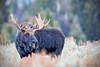 Bull Moose (Alces alces) in Grand Teton National Park (Jim Frazee) Tags: bull moose alcesalces grandtetonnationalpark