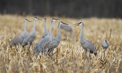 Sandhill Cranes (J Gilbert) Tags: antigonecanadensis sandhillcrane grueducanada sandhill crane bird corn field manville somerset newjersey