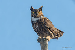 I can out-stare you (Earl Reinink) Tags: bird animal raptor predator perch tree sky winter owl earl reinink earlreinink greathornedowl stare eyes iehdtaadza