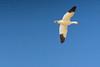 Snowgoose in flight (John Brighenti) Tags: bird birds geese goose snowgeese sandpiper blueheron feather sky beach water ocean winter frozen sand photography sonya7 minolta rokkor 200mm chincoteage island wildliferefuge virginia va national park