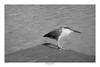 [ In the corner ] (Marcos Jerlich) Tags: pier focus bird water fauna texture nature socozinho bw blackandwhite bnw monochrome mono january flickr 7dwf lins brasil américadosul canon canont5i canon700d efs1855mm marcosjerlich