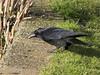 Crow (Deanne Wildsmith) Tags: crow staffordshire stowepool lichfield earthnaturelife