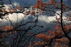 après une nuit de pluie (bulbocode909) Tags: valais suisse branches arbres nature hiver brume feuilles orange rouge nuages montagnes chênes