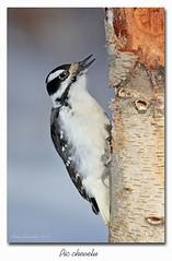 Pic chevelu fem. / Hairy Woodpecker (fem.) 153A5966 (salmo52) Tags: oiseaux birds salmo52 alaincharette picchevelu hairywoodpecker victoriaville leuconotopicusvillosus piciformes picidés picidae