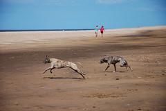 170731 Hunstanton-0057 (whitbywoof) Tags: sheena rupert rescue pet dog lurcher accolade hounds brindle run sprint beach sand sea
