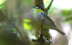 Barred Becard (Pachyramphus versicolor) (Adam Dhalla) Tags: pachyramphus versicolor becard barred costa rica bird savegre cr wild san jose