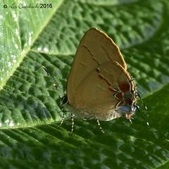 Calycopis sp. (LPJC) Tags: quitacalzones manuroad butterfly manu peru 2016 lpjc calycopis hairstreak