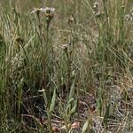 mountain meadow aster, Symphyotrichum spathulatum var. spathulatum thumbnail