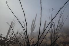 Tum015_small (patcaribou) Tags: tucson tumamochill sonorandesert fog cactii saguarocactus