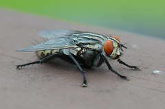 Fleshfly (bevanwalker) Tags: maggots live colourful hairs staring species food outdoor wings clear
