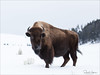 Bison (David P Hughes) Tags: yellowstonepark
