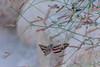 Desert Moth (sniggie) Tags: california joshuatree joshuatreenationalpark nationalparkservice usa desert moth