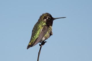 Kolibrie - Anna's Hummingbird