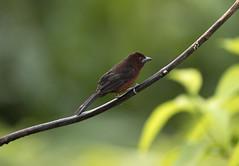 Trinidad (richard.mcmanus.) Tags: trinidad caribbean westindies bird tanager silverbeakedtanager rainforest mcmanus