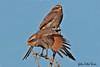 YELLOW-BILLED  SHRIKE //  CORVINELLA  CORVINA (Pr) (18cm) (tom webzell) Tags: naturethroughthelens