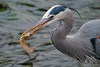 Great Blue Heron (fascinationwildlife) Tags: animal bird great blue heron wild wildlife winter nature natur vogel birding reiher fischreiher hunt catch fish low tide sea harbour usa america morro bay coast ebbe