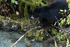 Fish Creek Black Bear (Rachel Crisp Photography) Tags: fishcreek blackbear bear bearcub yearling alaska hyder hyderalaska canada britishcolumbia travel roadtrip forest fall autumn black