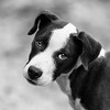 Audrey14Jan201811-Edit.jpg (fredstrobel) Tags: pets animals blackandwhite dogs phototype pawsdogs decatur georgia unitedstates us