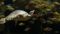 7994 (PhillipsVonNoog) Tags: tennessee aquarium animal animals zoological nikon dslr d3s 50mm 50 mm 18 nikkor reptile reptiles turtle turtles pignose pig nose pignosed carettochelys insculpta