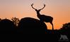 Stag Silhouette (fascinationwildlife) Tags: animal mammal wild wildlife nature natur national park spain spanien andalucia dusk red deer stag rothirsch hirsch male silhouette andujar winter buck sierra morena europe