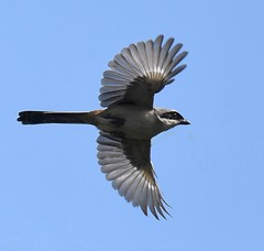 Long tailed shrike (abhishekskumar) Tags: bird birdphotography flickraddicts flickrworld freeze freezeshot flickrdaily soar longtailedshrike sky blue natureza