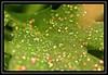 """Glitter On Green"" (in explore) -- MACRO MONDAYS - 22.1.18 - ""Speckled"" (NikonShutterBug1) Tags: macro closeup nikond7100 macromondays spe smartphotoeditor tamron60mmmacro speckled leaf foliage glitter inexplore 7dwf 6000views 7000views 11000views 13000views"