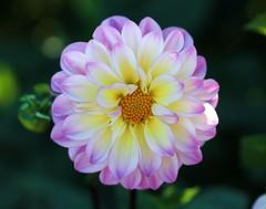 Dahlia (LuckyMeyer) Tags: flower fleur garden summer white yellow pink blume blüte dahlia dahlie makro