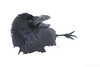 Raven (Mike Mckenzie8) Tags: corvus corax snow winter wild wildlife corvid black white bird feathers beak feet playful playing rolling uk eye northern common outdoor