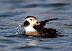 Long-Tailed-Duck (Darren.Chapman) Tags: long tailed duck holme pierrepont nottm sea bird wildlife photography