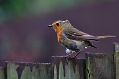 Red Robin On A Fence in Strong Wind (Jeremy Hayden Photography) Tags: art for sale daily bird red breast robin wind
