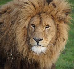 Yorkshire Wildlife Park  06.01.2018 073 (Andrew Burling (SnapAndy1512)) Tags: yorkshirewildlifepark lion lions bigcats animals zoo