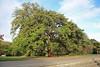 Acer griseum (Franch.) Pax - Papieresdoorn - Kew Gardens-01 (Ruud de Block) Tags: royalbotanicgardens kew ruuddeblock sapindaceae acergriseum acer griseum