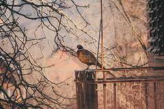 Enjoying the view (Inka56) Tags: fence pheasant bird balcony branches mist 7dwf fauna