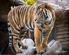 Conrad (ToddLahman) Tags: conrad sandiegozoosafaripark safaripark sumatrantiger canon7dmkii canon sigma150500 outdoors mammal male portrait tiger tigers tigertrail escondido eyelock exhibita