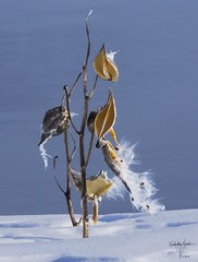 Silk over snow (Niimki) Tags: bush water seed plant winter snow
