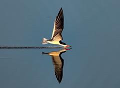 Skimming at Sunrise (Darts5) Tags: blackskimmer skimmerbirds skimmer skimming skimmers bird birds bif birdinflight 7d2 7dmarkll 7dmarkii 7d2canon ef100400mm canon7d2 canon7dmarkll canon7dmarkii canon