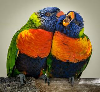 Rainbow Lorikeets (Trichoglossus moluccanus) preening each other