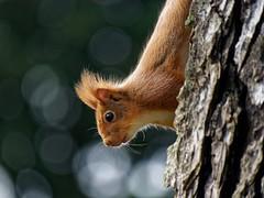 Curieux (golfpatphoto) Tags: jardindesplantes écureuil