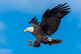 Bald Eagles of the Jersey Shore | 2018 - 16