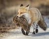 Muskrat Love... (DTT67) Tags: redfox fox mammal animal wildlife nature nationalgeographic canon 1dxmkii 500mmii de prey muskrat