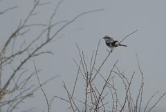 Great Grey Shrike Gloucestershire 23-02-2018-2404 (seandarcy2) Tags: shrike gretgrey birds wildlife winter visitor gloucestershire uk