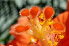Pistil d'hibiscus (M. Carpentier) Tags: macromondays lessthananinch pistil hibiscus fleur flower macro