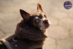 2*12 months of Elliott - Shall we go? (sgv cats and dogs) Tags: 12monthsfordogs18 elliott chihuahua portrait dog park lets go