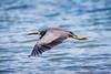Flying Like A Bird (stewartbaird) Tags: avian nature newzealand grey bif heron alive wildlife bird flight