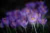Let yourself bloom (gwuphd) Tags: vivitar 90180mm f45 flatfieldzoom crocus bokeh